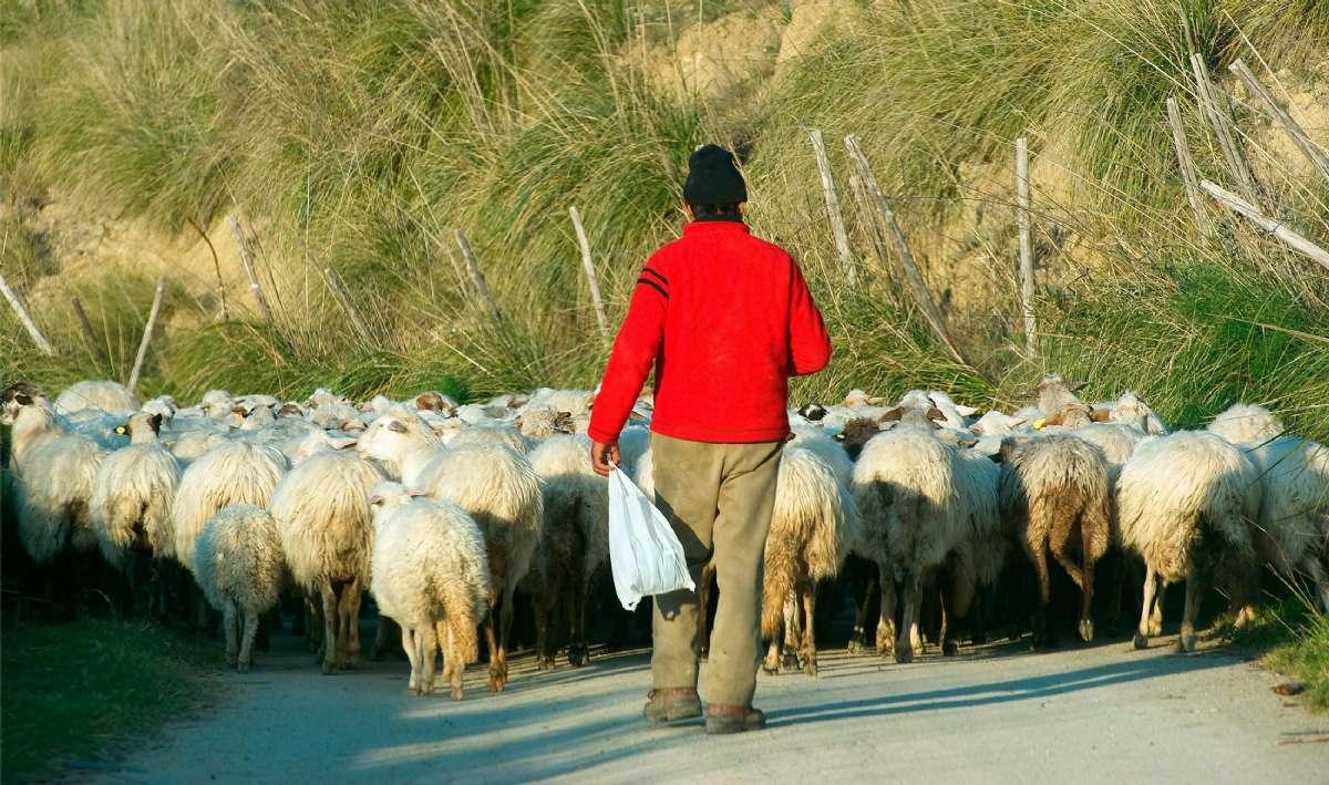 En fåraherde med sina får