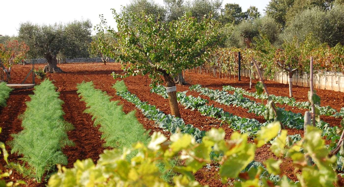 Apulien kaldes også Italiens køkkenhave