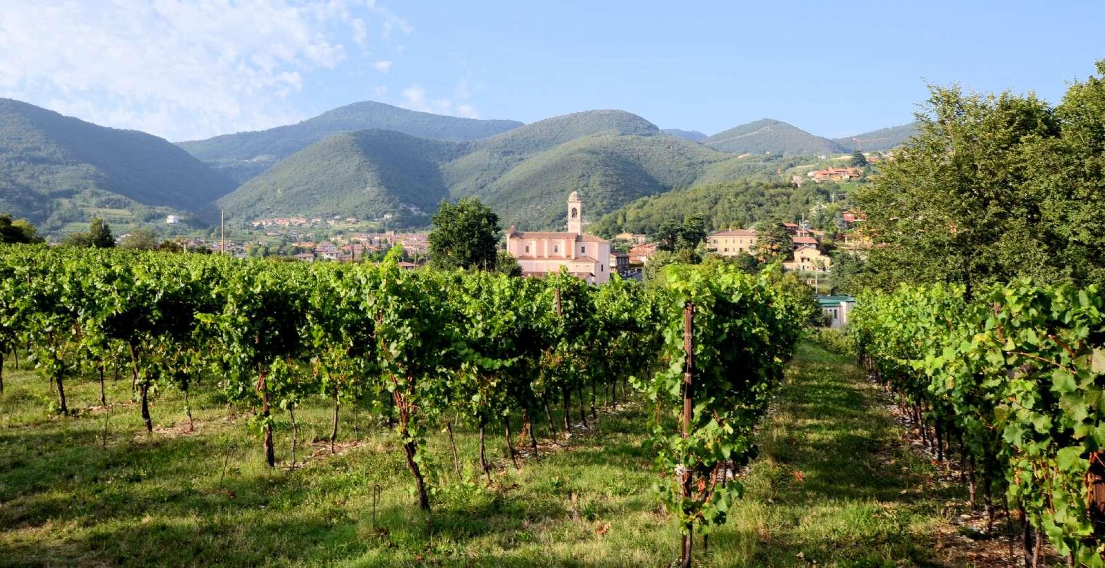 Vinrankor i Franciacorta
