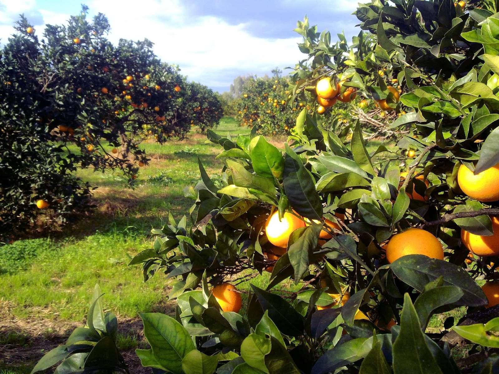 Gårdens apelsinplantage