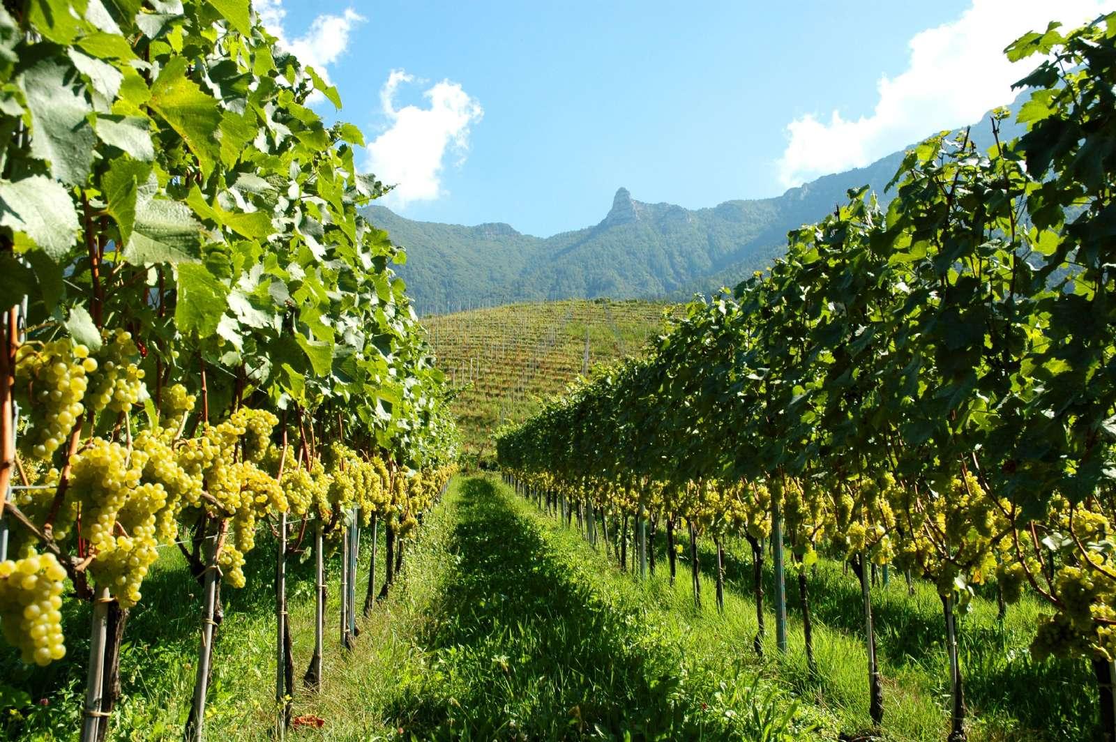 La région produit du vin blanc