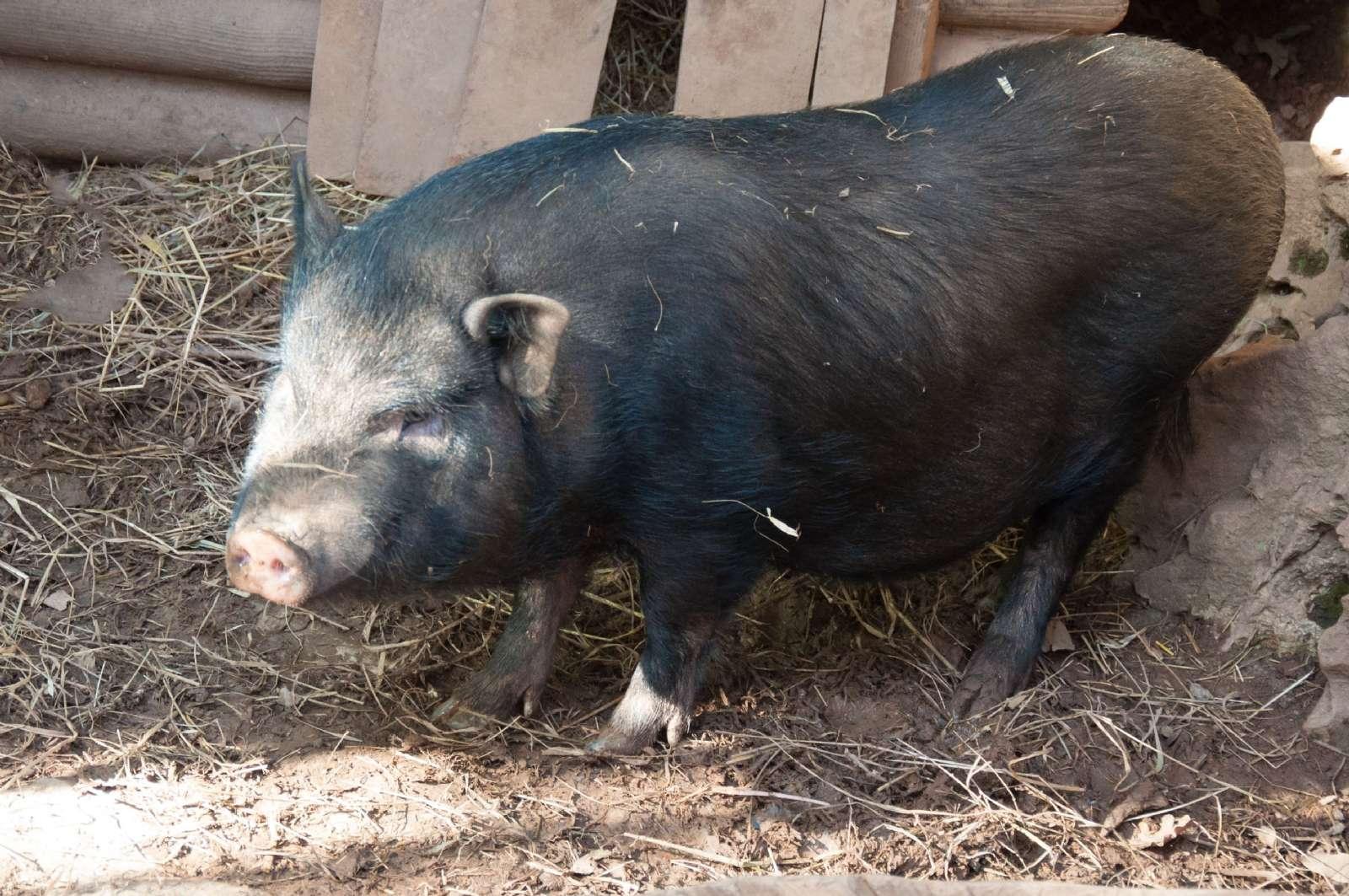 Ett av de vietnamesiska svinen