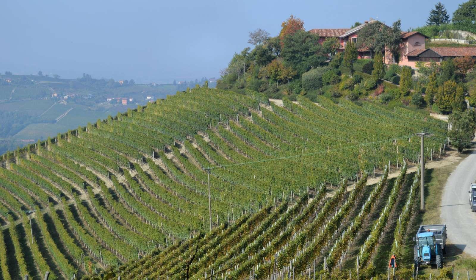 Vinrankor i långa rader