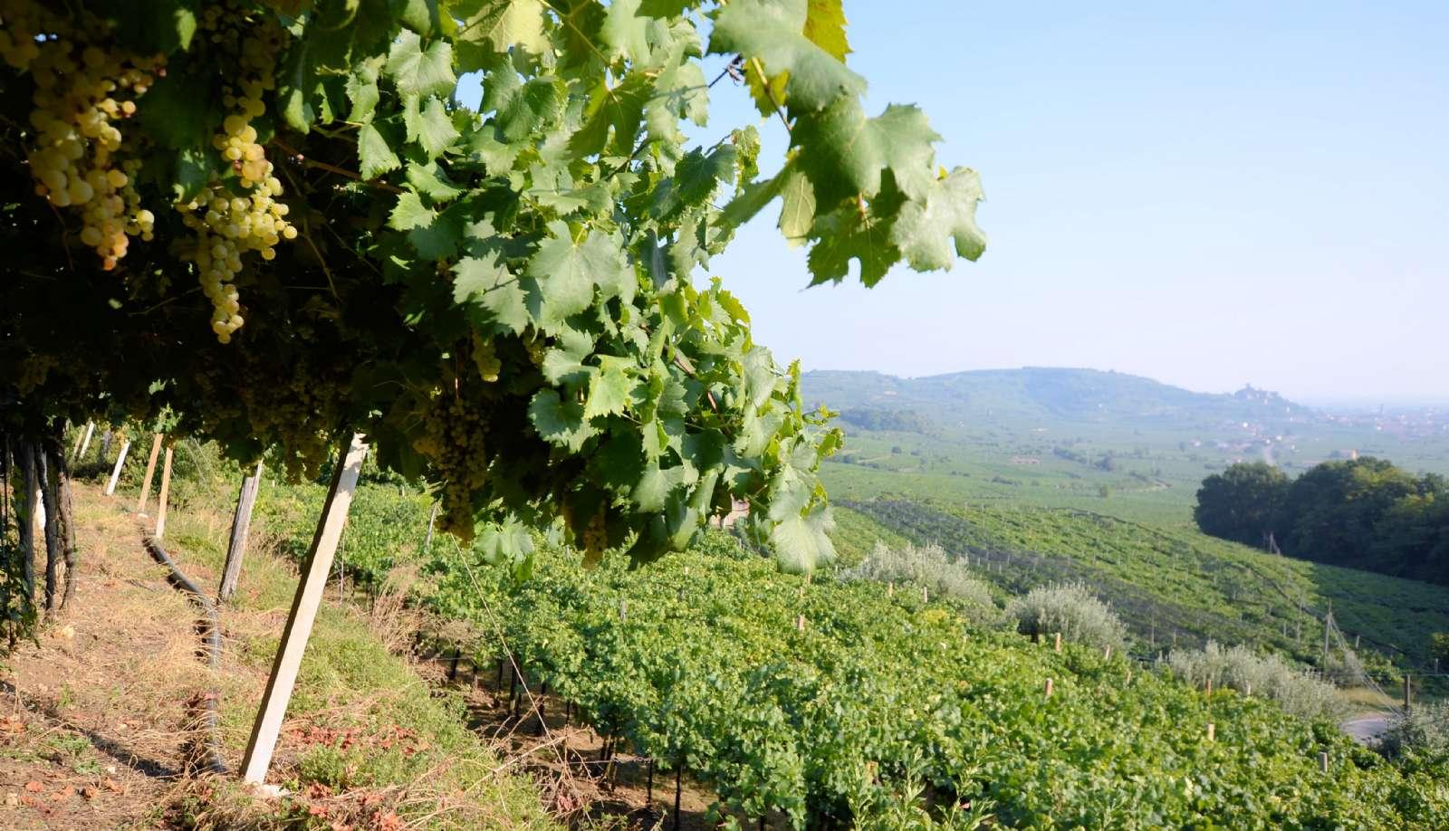 Des vignes à l'infini