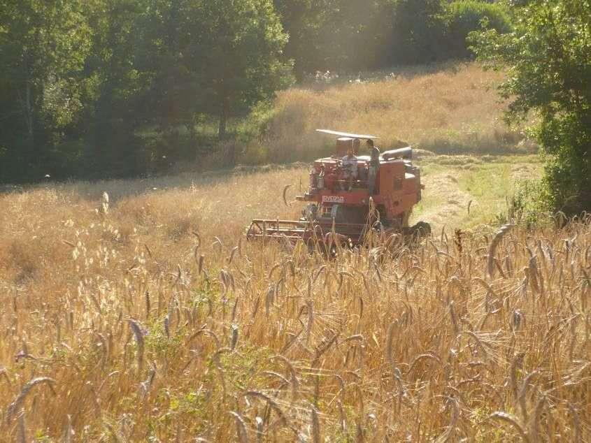 Høsten er i gang af de gyldne kornstrå