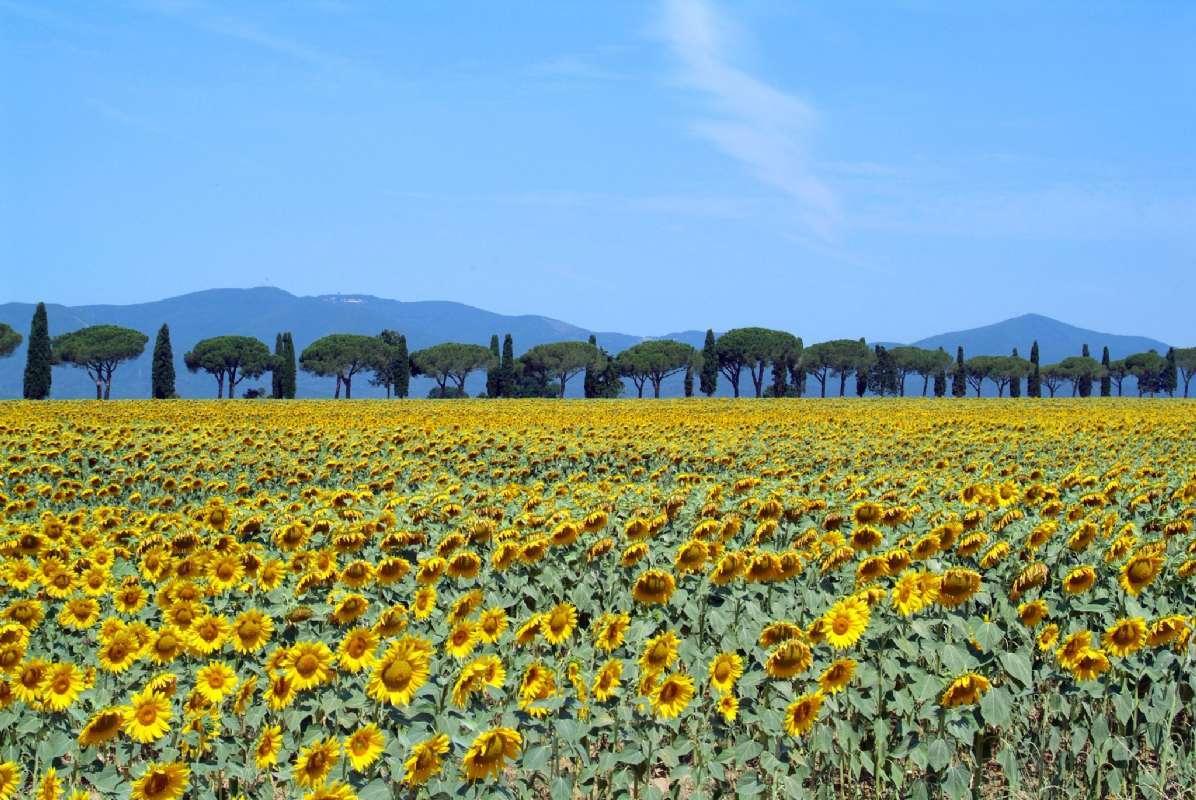 """Køretur forbi solsikker i Toscana (foto: Flickr """"Giovanni"""")"""