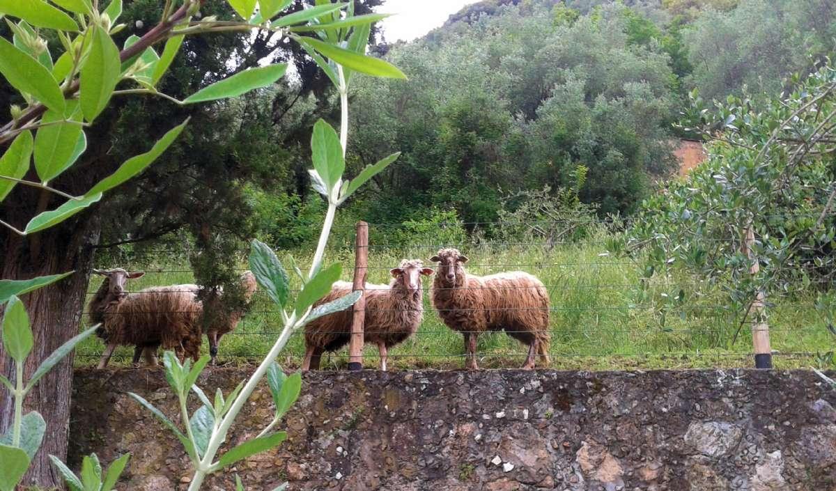 Ihre Nachbarn - die Schafe