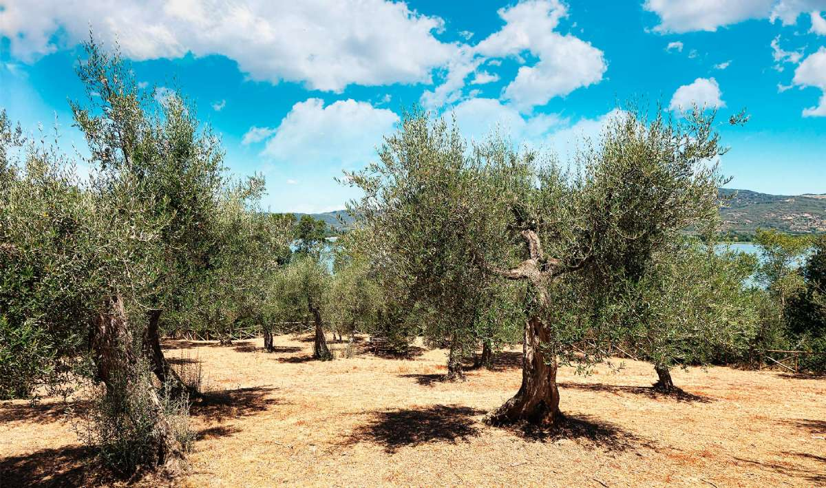Olivenlund på Isola Maggiore i Trasimenosjøen