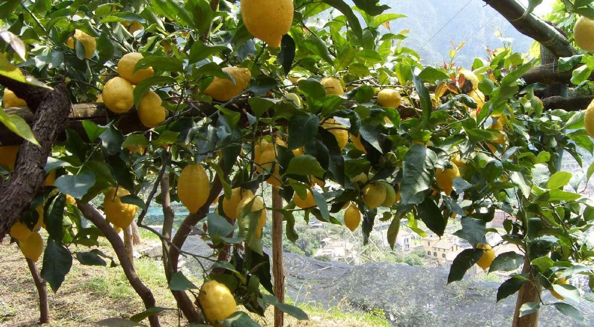 Njut av trädgården och doften av citrusträd