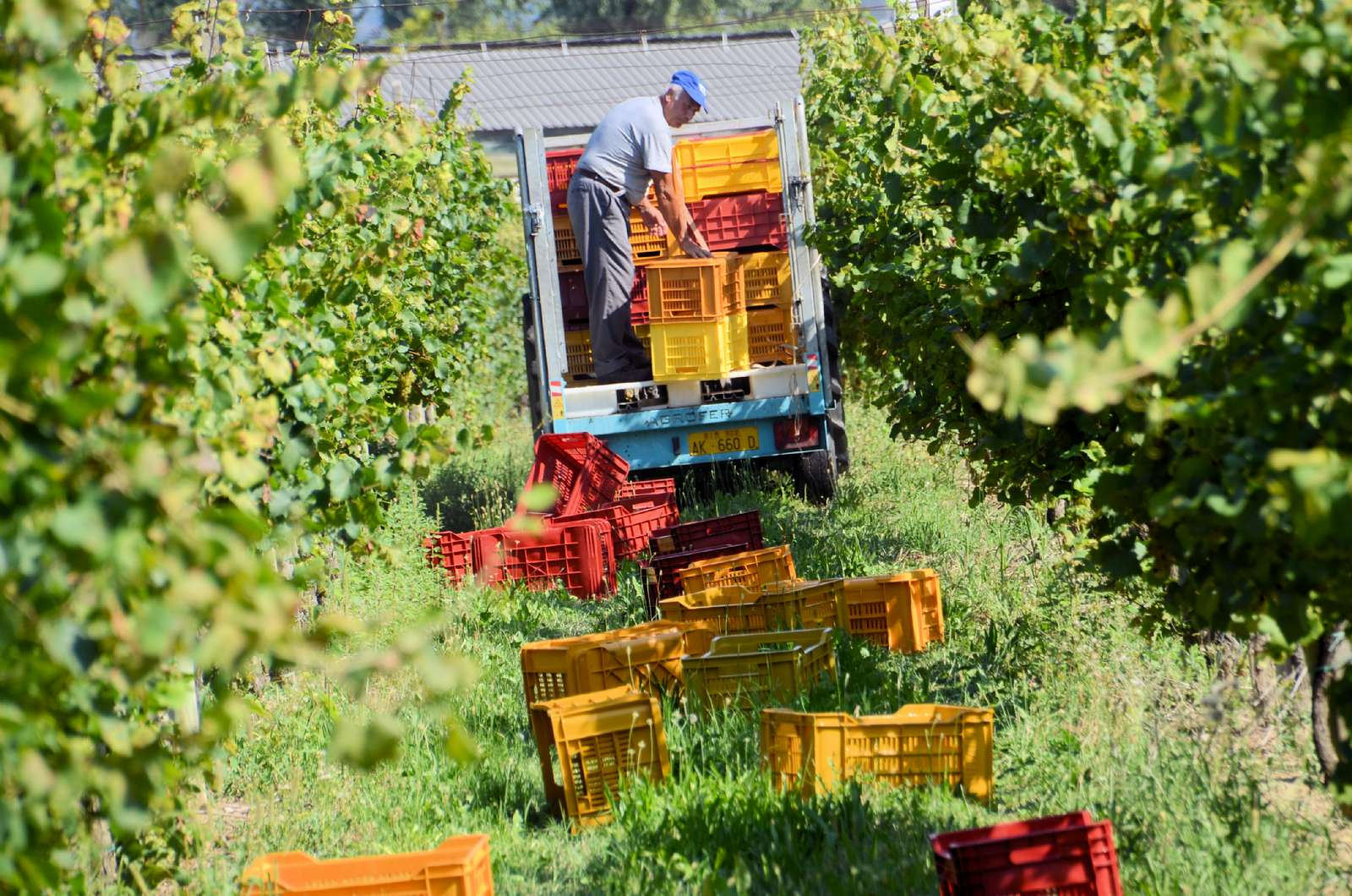 The harvest in Franciacorta Wine Region