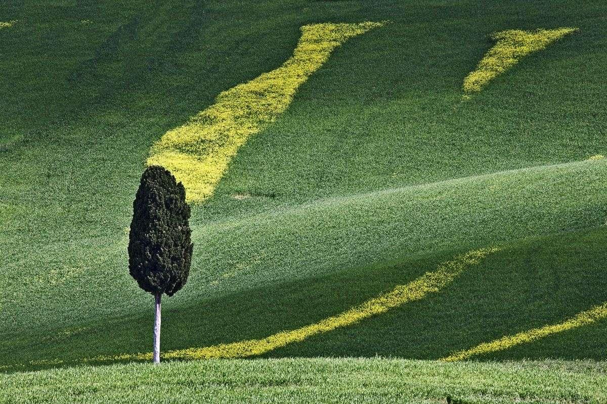Toscansk landskab med cypres